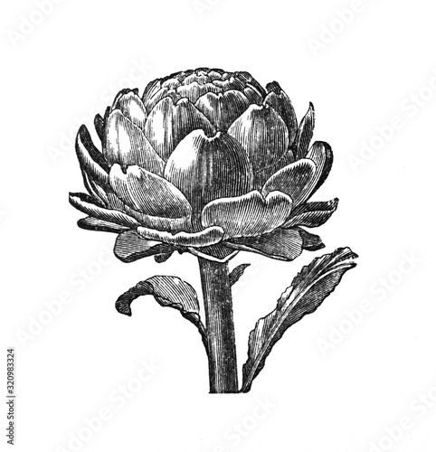 Photo Artichoke - Antique engraved illustration from Brockhaus Konversations-Lexikon 1