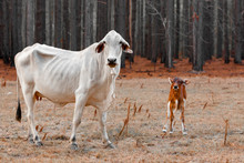 Under Weight Thin Cow And Calf...