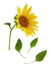 Yellow Sunflower Flower On Stem With Green Leaves Isolated On White Background