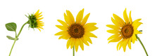 Three Different Sunflower Flower On Stem Isolated On White Background