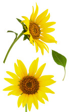 Sunflower Isolated. Two Bright...