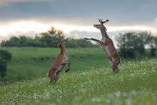 Two Young Red Deer Stags Fighting On The Meadow, (Cervus Elaphus), Slovakia