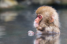 Snow Monkey In Water With Refl...
