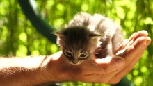 Cute Baby Cat In Man's Hand Looking Down Curiously.Slow Motion, Green Background.