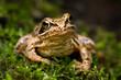 European grass frog (Rana temporaria) on forest floor close-up