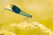 Beautiful Demoiselle Dragonfly...