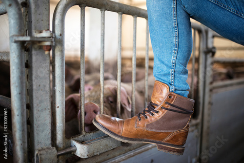 Fototapeta Pig and cattle farming. Close up view of farmer's leg and boots leaning on the cage while pigs eating in background. obraz