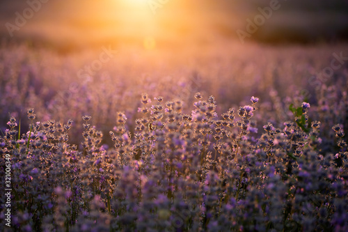 Lavender flowers at sunset in a soft focus, pastel colors and blur background. - 321006349