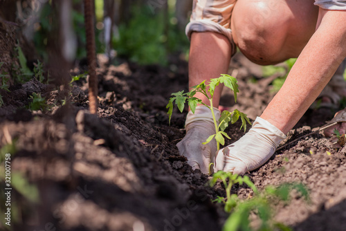 an old woman plants seedlings of tomatoes in her garden