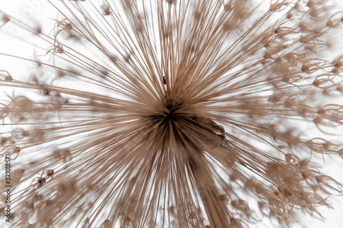 Allium, blume #321018571