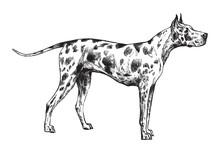 Great Dane Or German Mastiff Dog / Vintage Illustration From Brockhaus Konversations-Lexikon 1908