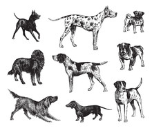 Dog Collection / Vintage Illustration From Brockhaus Konversations-Lexikon 1908