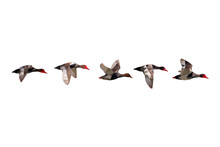 Bird Polygonal Low Poly Geometric. Flock Flying Ducks. White Background.