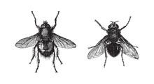Fly - Tachina Fera And Calliph...