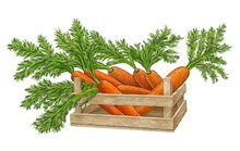 The Crop Of Carrots,vegetables...