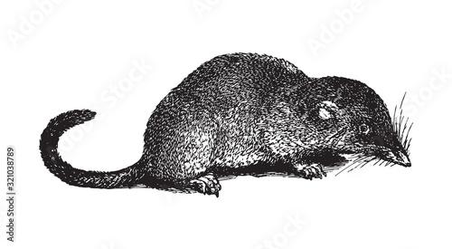 Fotografie, Obraz Eurasian pygmy shrew (Sorex pygmaeus) / vintage illustration from Brockhaus Konv