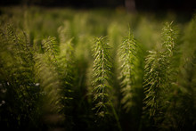 Green Horsetail/ Equisetum In ...