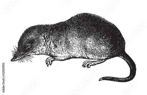 Obraz na plátně Shrew (Sorex vulgaris) / vintage illustration from Brockhaus Konversations-Lexik