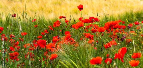 Fototapety, obrazy: Red poppies
