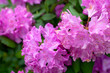 canvas print picture - blooming pink rhododendron close up