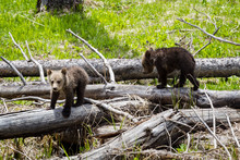 Young Grizzly Bear Cubs Play O...