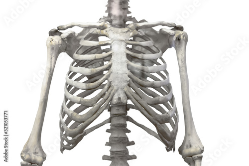 Obraz na plátne Thoracic spine, chest and ribs of bone with arms and shoulders isolated on a white background