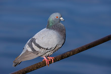 Close Up Of A Wild Pigeon / Ro...