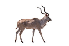 Greater Kudu South Afrca Anima...