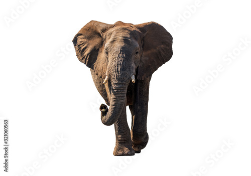 Photo Front view African Elephant walk with sun shade ,  isolated.
