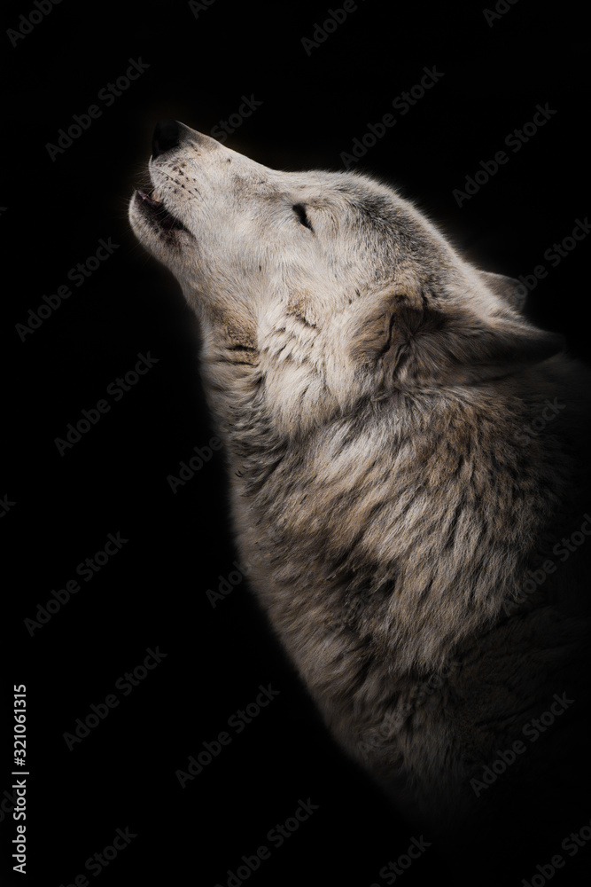 Fototapeta wolf howls looking up, a gloomy  of sadness and longing. an ashen white polar wolf snout on a black background howls in the moonlight.