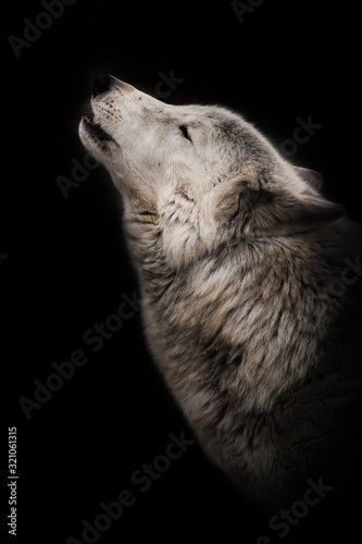 Photo wolf howls looking up, a gloomy  of sadness and longing