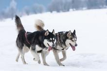 Siberian Huskies And Malamuts ...