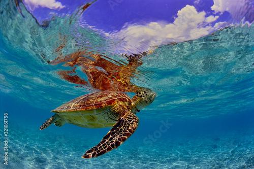 Fototapeta 沖縄のビーチで呼吸するウミガメ