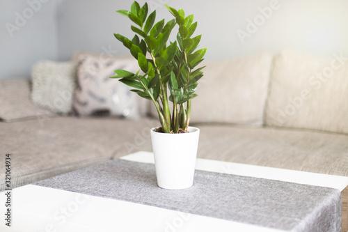 Fototapeta Zamiokulkas zamiolistny w salonie na stoliku w doniczce. Kwiat domowy obraz