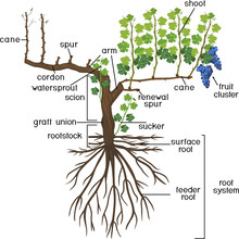 Parts Of Plant. Morphology Of Grape Vine Plant With Root System Isolated On White Background. Structure Of Grapevine Plant