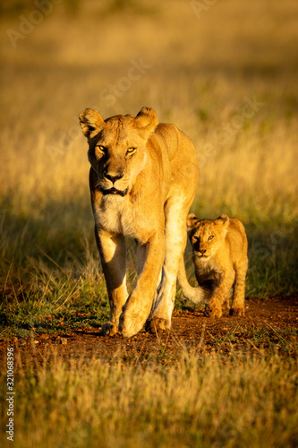 Lioness walks along gravel track with cub Canvas-taulu