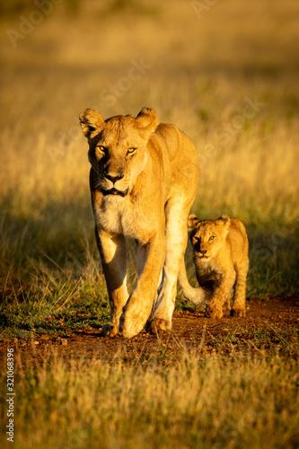 Fotografia, Obraz Lioness walks along gravel track with cub