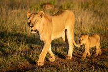 Lioness Walks Down Track Followed By Cub