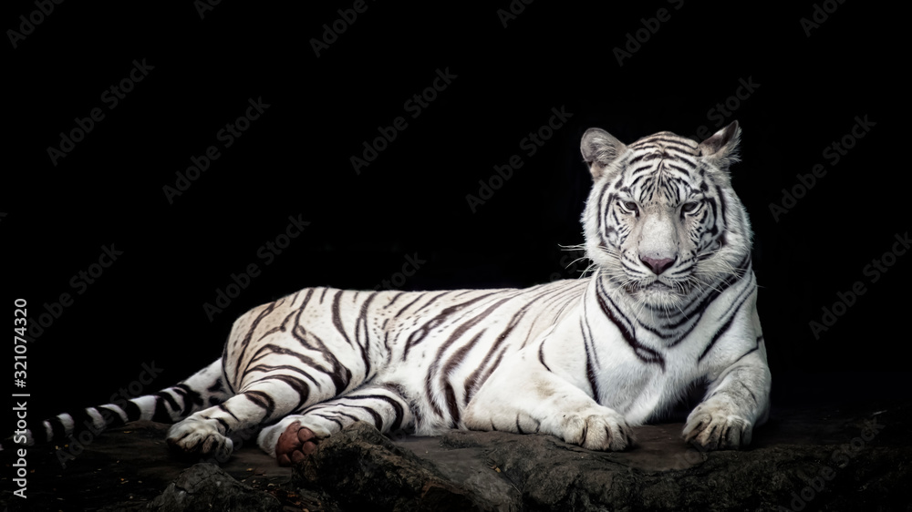 Fototapeta White tiger isolated in black