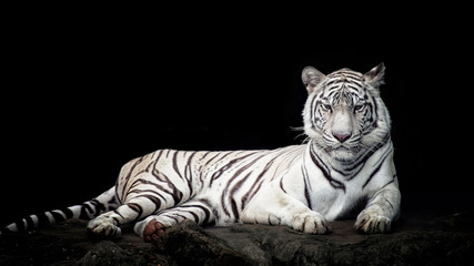 Panel Szklany Natura White tiger isolated in black