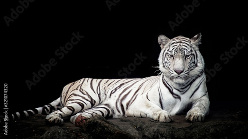 Fotomural White tiger isolated in black