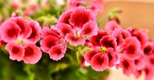 Pink Geraniums, Soft Focus
