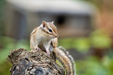 Chipmunk, Japan, Saitama, Wild Animals