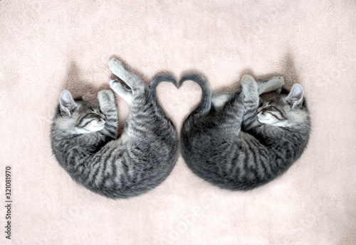 on a light beige pastel fluffy blanket a pair of small gray kittens sleeps folde Canvas Print