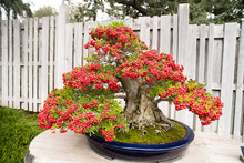 Bonsai Tree With Red Berries,P...