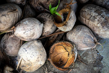 Coconut Shells In Bali, Indone...