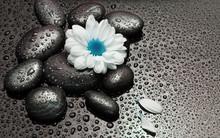 Chamomile White Flower And Bla...