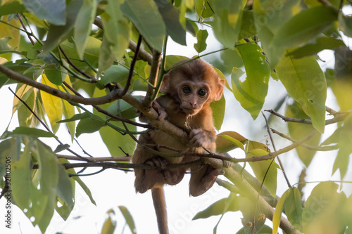 Baby  Indian Monkey sitting on the tree branch Wallpaper Mural