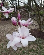 Blooming Pink Magnolias In Spring