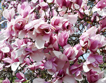 Close-up On Branches On Blooming Magnolia Flowers In Spring
